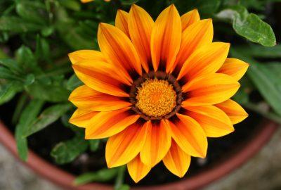 Längsgestreifte gelb-orange Gazania