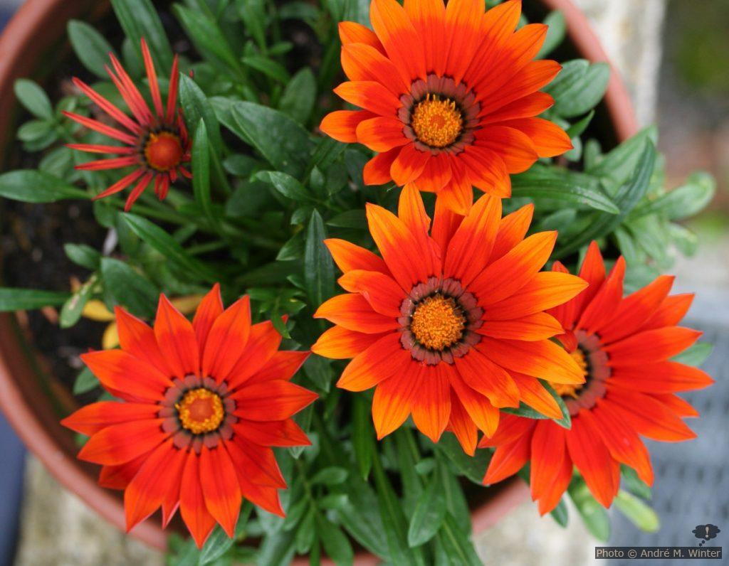 Rot-orange Gazanien im Topf