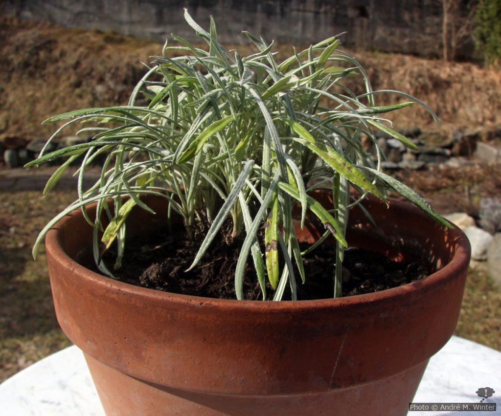 2-jährige Gazanie Anfang März nach fünf Monaten im beheizten Wohnraum. Diese Pflanze, nun mitten in ihrem zweiten Winter, steckt die Überwinterung besser weg.