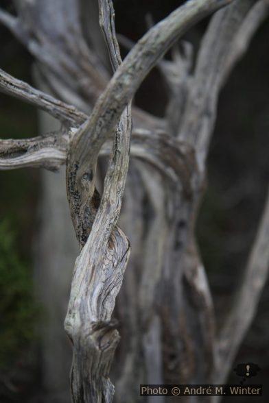 Bois de genévrier mort. Photo © Alex Medwedeff
