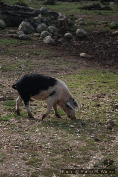 Cochon sarde sauvage