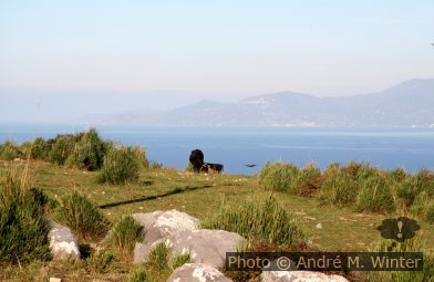 Vaches au Cap Palinuro